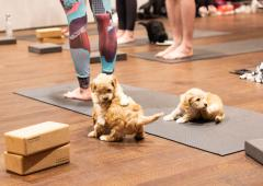 Puppy Yoga at The Curtain image