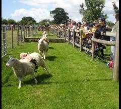 Sheep Week At Odds Farm Park image