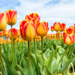 Tip-toe through the tulips picture